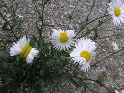 Fukushima Nuclear Flowers / Izvor: http://i.imgur.com/aER2hpyl.png