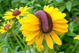 Fukushima Nuclear Flowers / Izvor: http://i.imgur.com/9gkTGBrl.png